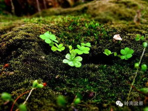 青苔能种在养花的盆里吗