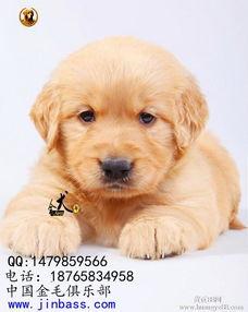 如何养好金毛幼犬