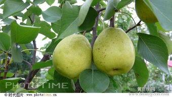 香梨树报价 厂家