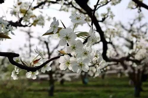 描写梨花的诗句_描写梨花的诗