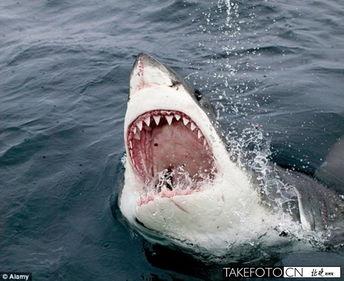 1300公斤大白鲨在深海离奇失踪 或被大型生物吞噬 图
