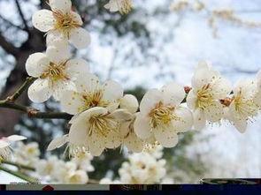 罂粟花的花语是什么?