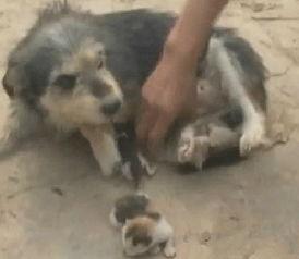猫狗杂交 5岁狗妈产下3只猫仔