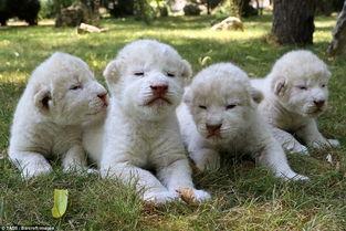 在克里米亚的一个野生动物园,有四只稀有而可爱的白狮幼崽呱呱落地.