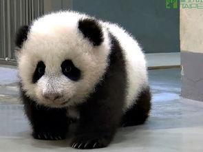 台北动物园最快10月底24小时网络转播大熊猫
