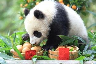 当日,广州长隆野生动物世界两只熊猫二代隆仔婷仔现身,秀出可爱模样,迎接熊生首个中国农历新年.