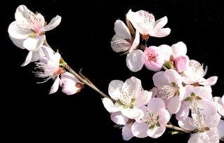 描写桃花样子的句子100字左右