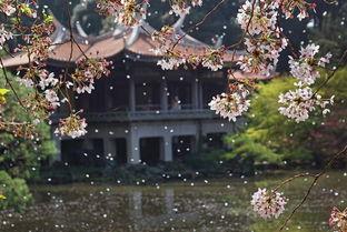 全球多地迎来绚烂樱花季 美景如画 头条列表 海外网