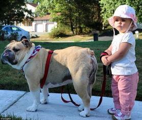 暖心美国两岁女孩与斗牛犬形影不离成好友