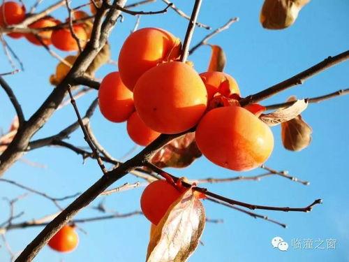 描写秋天柿子的四字词