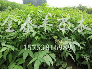 广西香椿苗 畅销的香椿树苗出售