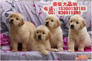 纯种金毛 金毛图片 金毛幼犬