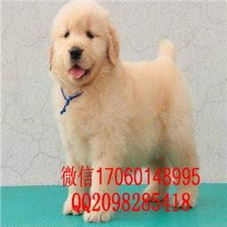 广州哪里有金毛犬出出售 哪里卖金毛犬价格便宜 金毛幼犬图片价格