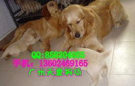 广州哪里有卖苏牧 广州金毛犬价格