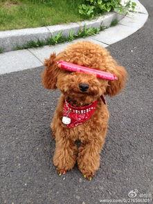 给泰迪公狗狗起名字