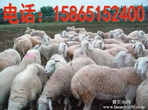 【山东菏泽齐天种羊场出售波尔山羊种羊、小尾寒羊种羊】_黄页88网
