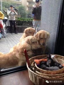 金毛,究竟是一种什么样的狗狗