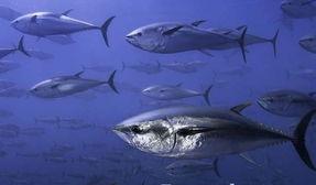 蓝鳍金枪鱼图赏图片
