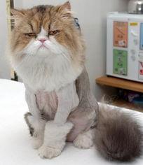怎么给猫除蜱虫