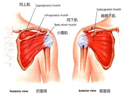 肩袖肌群精细解剖  肩袖包括哪些肌肉