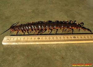 有256条腿.   8.) 秘鲁巨型蜈蚣