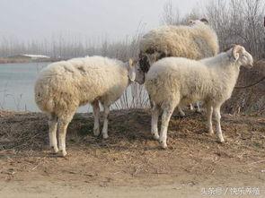 一头成年羊多少钱(一头成年羊多少钱一只)