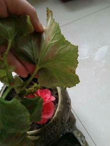 养花有白色飞虫怎么办