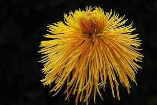 关于红菊的诗句
