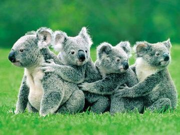 长隆野生动物世界里可爱的考拉.