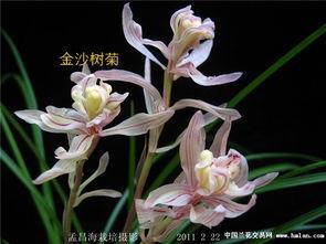 金沙树菊 0820 12 带两芽