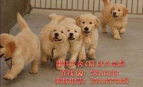 标题 东莞哪里买金毛犬最好东莞哪里有卖宠物狗金毛