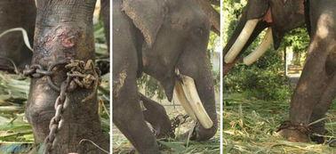 一只被虐待了50年的大象,终于摆脱枷锁获得自由