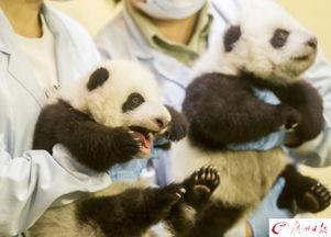大熊猫双胞胎.
