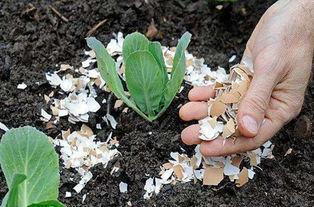 鸡蛋壳可以养花吗有什么成分
