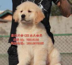 标题 广州纯种金毛犬出售广州哪里买金毛犬最好