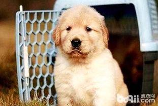 金毛幼犬的最佳训练时间