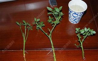 水培薄荷盆栽怎么种植方法和注意事项