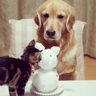 金毛犬收养了一只小猫