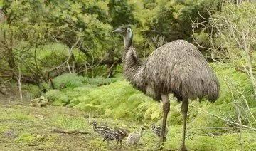 澳洲琴鸟(琴鸟是怎样得名的)