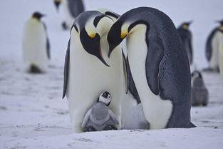 帝企鹅日记 记录小企鹅从破壳到成人