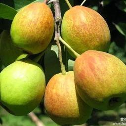 一个梨的4种 黄金食疗方