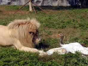 杭州野生动物世界丹顶鹤狮口丧生2