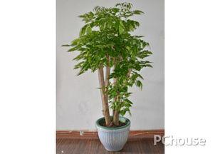 绿宝树怎么养_绿宝树在室内怎么养