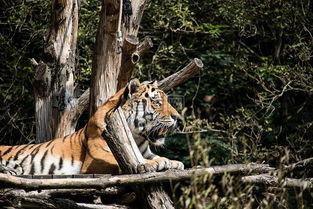 虎捕食动物动物世界大猫性质哺乳动物食肉动物动物园图片素材免费下载1
