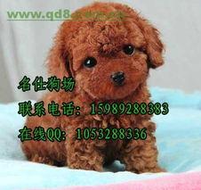 广州哪里有泰迪犬卖广州哪里买狗便宜健康有保障首选名仕