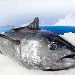 太平洋深海蓝鳍金枪鱼整条35kg 进口海鲜冷冻水产海鱼