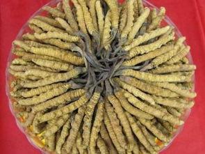 冬虫夏草怎么种植
