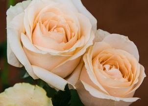 香槟玫瑰的花语是什么