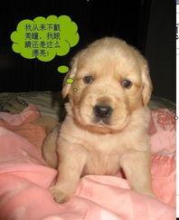 金毛犬小狗好养吗