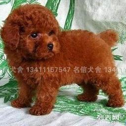 广州哪里出售纯种健康泰迪熊犬 名信犬舍